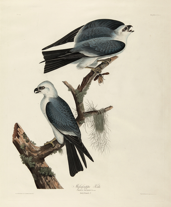 MISSISSIPPI KITE. John James Audubon.