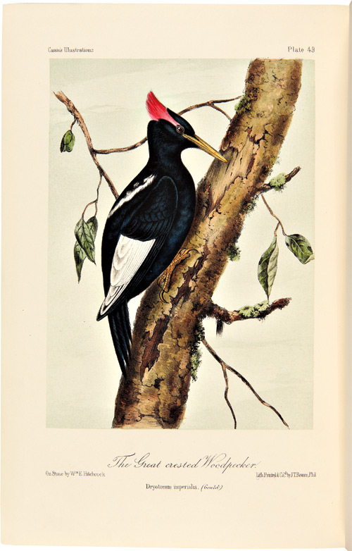 ILLUSTRATIONS OF THE BIRDS OF CALIFORNIA, TEXAS, OREGON, BRITISH AND RUSSIAN AMERICA. INTENDED TO CONTAIN DESCRIPTIONS AND FIGURES OF ALL NORTH AMERICAN BIRDS NOT GIVEN BY FORMER AMERICAN AUTHORS, AND A GENERAL SYNOPSIS OF NORTH AMERICAN ORNITHOLOGY. John Cassin.