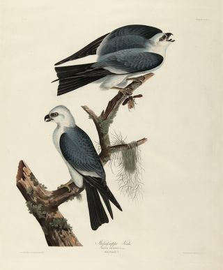 MISSISSIPPI KITE. John James Audubon