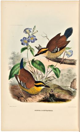 A MONOGRAPH OF THE PITTIDAE, OR, FAMILY OF ANT THRUSHES. Daniel Giraud Elliot
