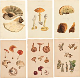 EXTENSIVE COLLECTION OF ORIGINAL HAND-COLORED DRAWINGS OF MUSHROOMS]. Mycology