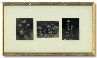 Three Original Prints of Still Life Photographs of Flowers]. Paul L. Anderson, photographer